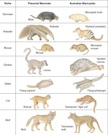 "Convergent form and function in placental and marsupial mammals. This is one famous example of ""convergent evolution,"" or rather, convergent evolutionary development."