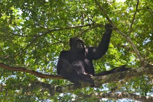 Chimpanzees, like this one in Kyambura Gorge in Uganda, today spend roughly equal time in trees and on ground.